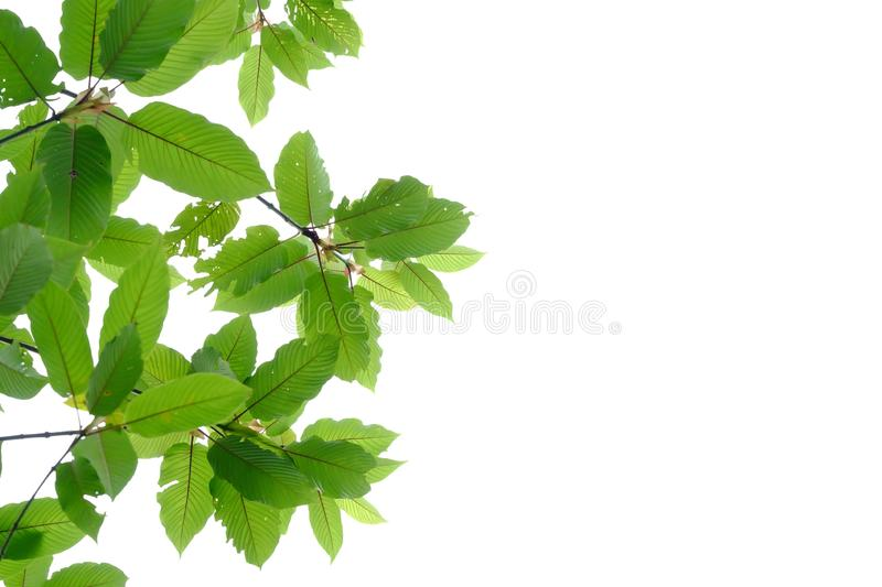 Tropical kratom leaves with branches on white isolated background royalty free stock images