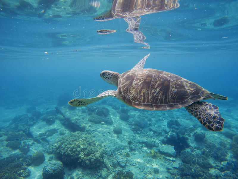 Tropical lagoon with sea animals - corals, fishes and green turtle. Sea turtle swimming underwater. Exotic island seashore nature. Undersea landscape with sea stock photo
