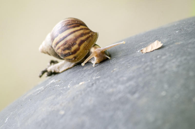 Tropical Land Snail (Achatinidae). Achatinidae snail of Tropical Land Snail Family stock photo