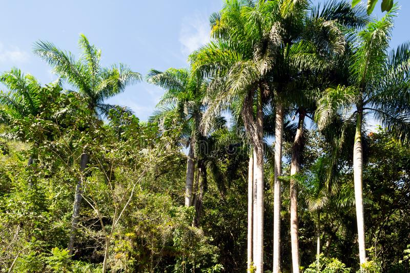 Tropical landscape. Tall slender green palm trees against a blue sky. Horizontal orientation royalty free stock photos