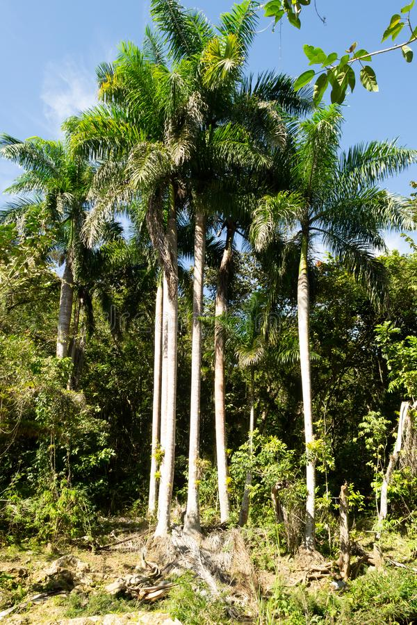 Tropical landscape. Tall slender green palm trees against blue sky. Vertical orientation stock photography