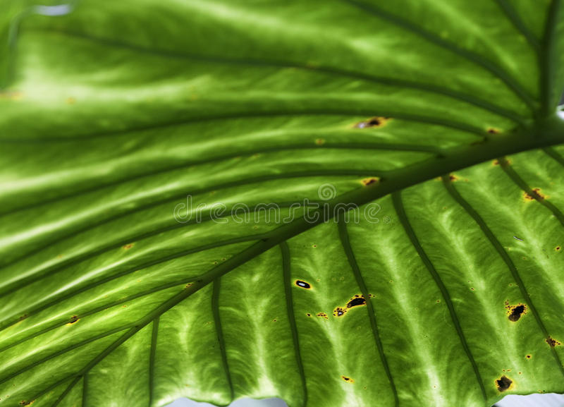 Tropical leaf detail green texture background. Tropical leaf green background texture with copy space veines rainforest palm tree close-up jungle walpaper stock photography