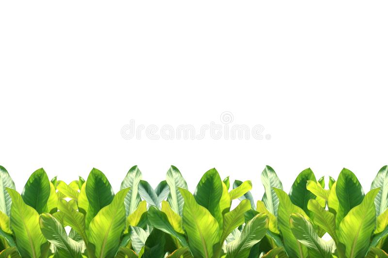 Tropical leaf tropical foliage nature isolated background for decorations copy space message, strip row tropical leaves green stock photography