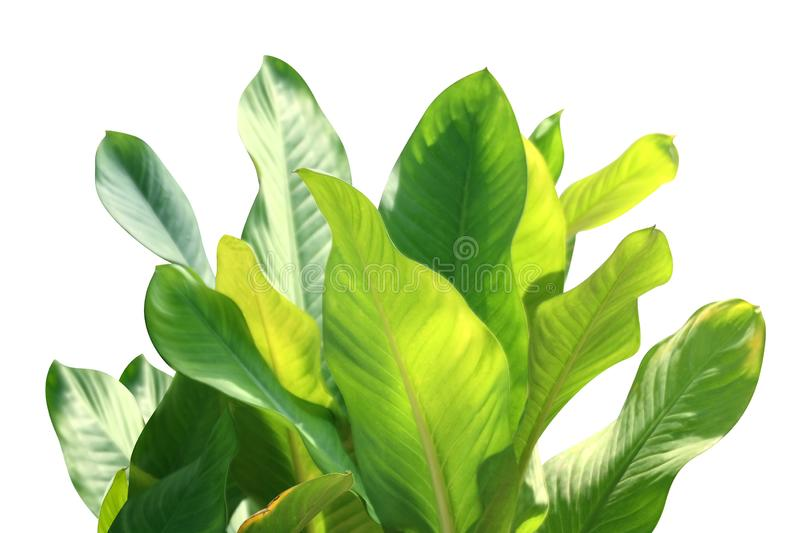 Tropical leaf fresh green, tropical foliage leaves nature isolated white background for decorations garden design selective focus royalty free stock photo
