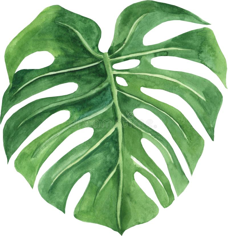 Tropical leaf of monstera. Hand painted watercolor illustration isolated on white background. royalty free illustration