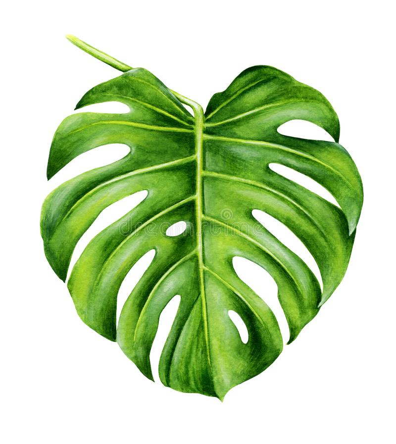Tropical leaf of monstera. royalty free stock images