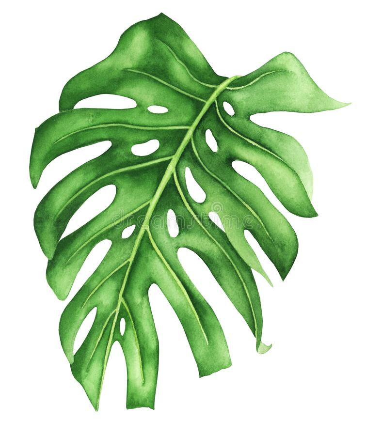 Tropical leaf of monstera, watercolor painting. Realistic botanical art. stock illustration