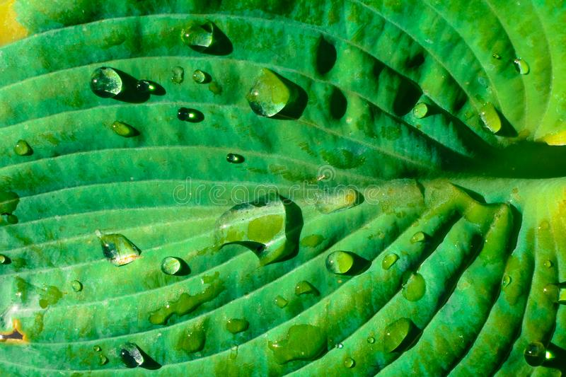 Tropical leaf nature background of large bright green palm leaf with water droplets royalty free stock photos