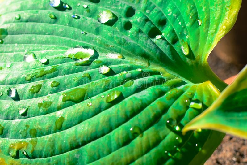 Tropical leaf nature background of large bright green palm leaf with water droplets stock photo