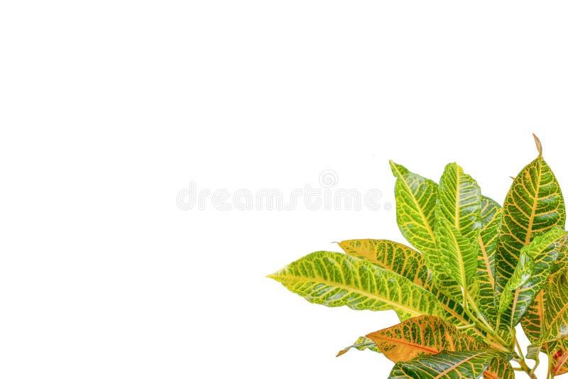 Tropical leaf plants codiaeum variegatum white background. Codiaeum variegatum tropical leaf plants codiaeum variegatum white background plants in the form of royalty free stock image