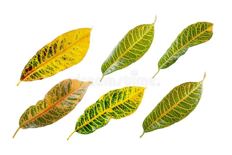 Tropical leaf plants codiaeum variegatum white background. Codiaeum variegatum tropical leaf plants codiaeum variegatum white background plants in the form of stock images