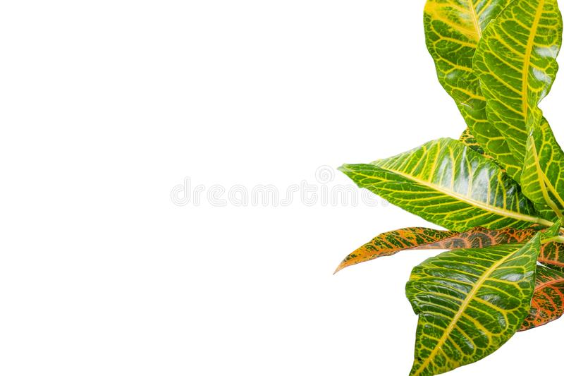 Tropical leaf plants codiaeum variegatum white background. Codiaeum variegatum tropical leaf plants codiaeum variegatum white background plants in the form of royalty free stock images