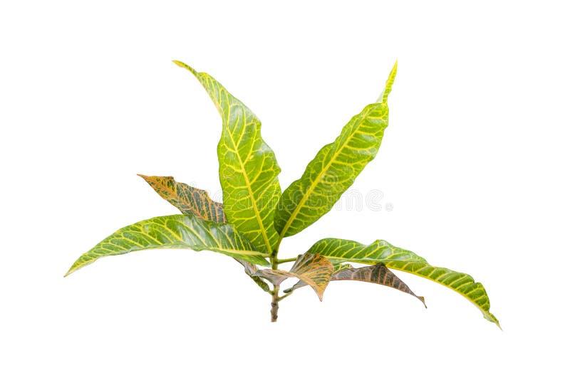Tropical leaf plants codiaeum variegatum white background. Codiaeum variegatum tropical leaf plants codiaeum variegatum white background plants in the form of stock image