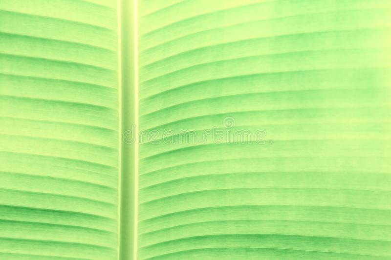 Tropical leaf texture, large palm foliage nature green background. Abstract of banana leaf. royalty free stock image