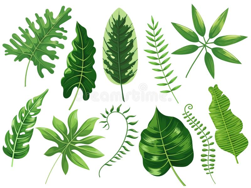 Tropical leaves. Exotic tropic leaf, botanic rainforest and tropics travel leafs painting cartoon vector isolated royalty free illustration
