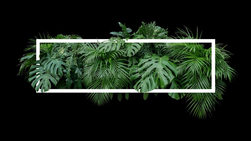 Tropical leaves foliage jungle plant bush nature backdrop with w. Hite frame on black background stock photography