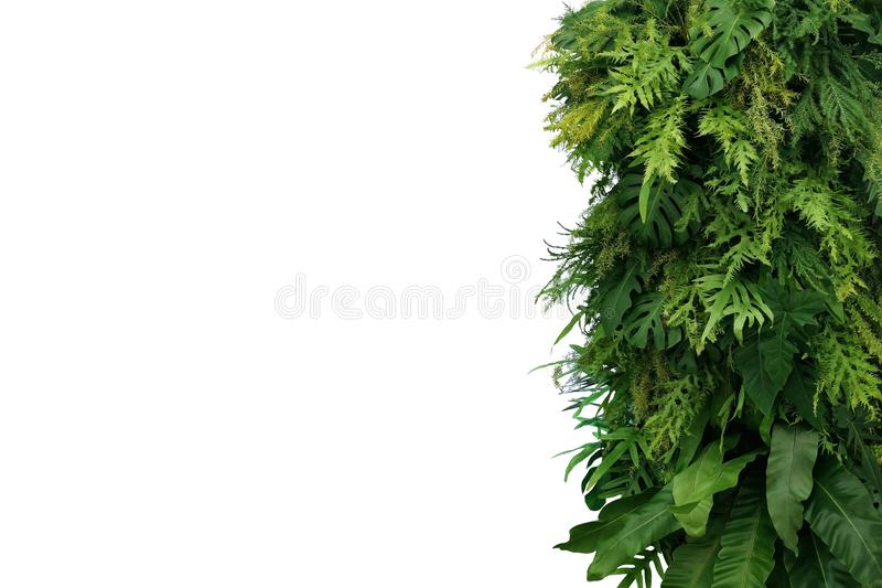 Tropical leaves foliage plant bush, vertical green wall nature backdrop on white background with clipping path. Tropical leaves foliage plant bush, vertical stock images