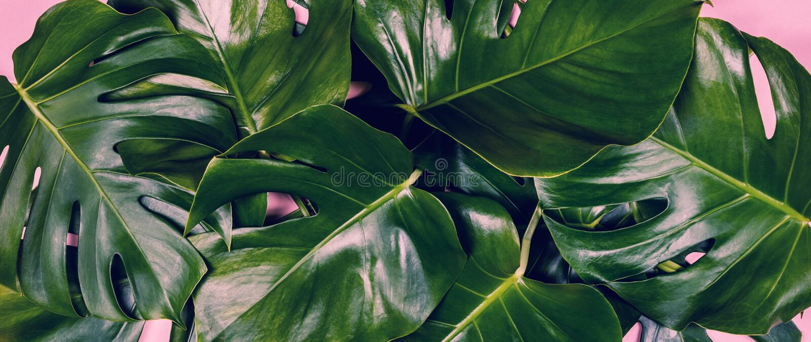 Tropical leaves Monstera on colorful background stock photos