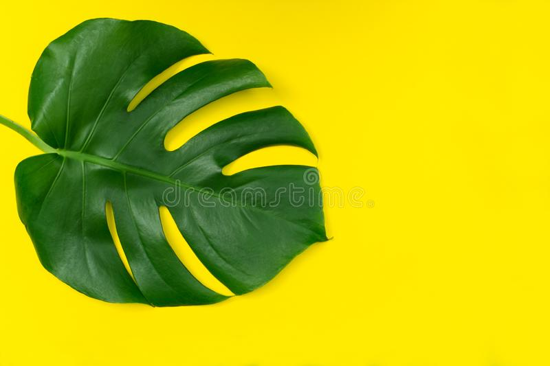 Tropical leaves Monstera flower on a yellow background. Creative arrangement of these tropical leaves on a bright yellow backgrou royalty free stock images