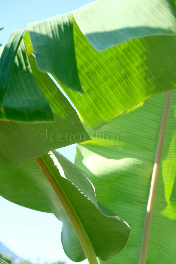 Tropical leaves, summer conept, green background. Abstract. Tropical leaves, summer conept, green background Abstract backdrop royalty free stock photo