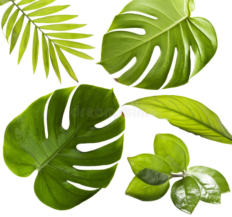 Tropical Leaves. On a white background royalty free stock photography