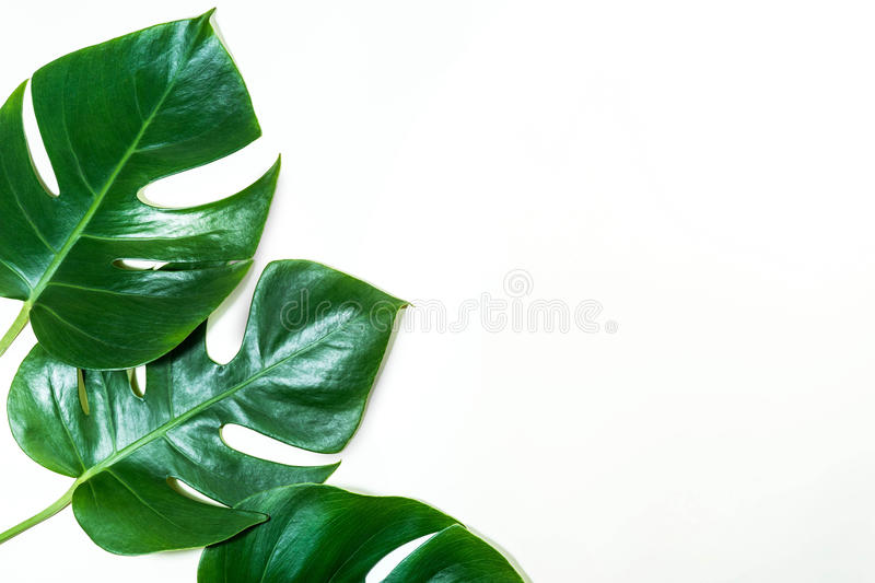 Tropical leaves on white color background.Jungle leaf stock images