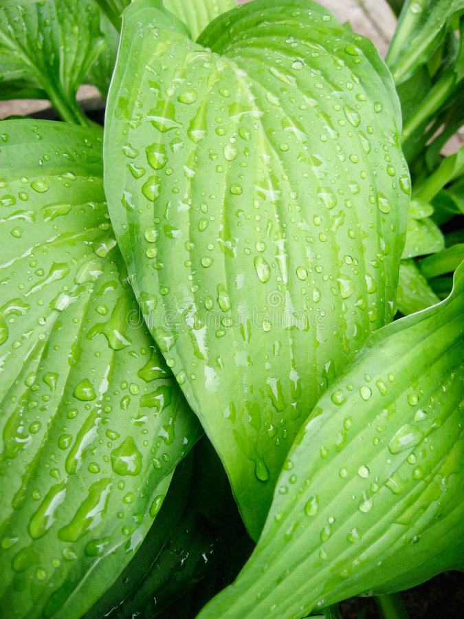 Free Tropical Leaves With Rain Stock Image - 606271