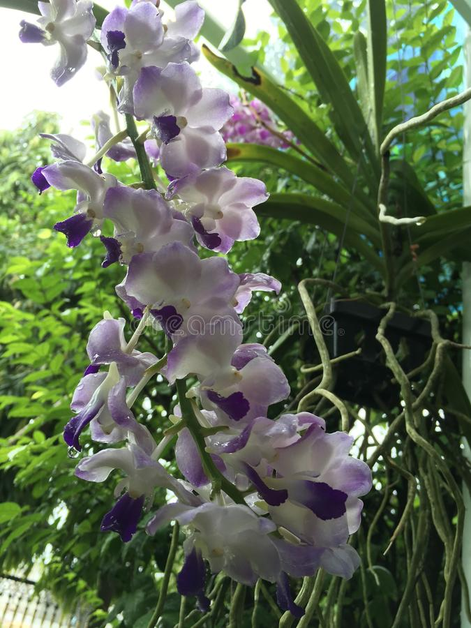 Tropical light purple orchid stock photos