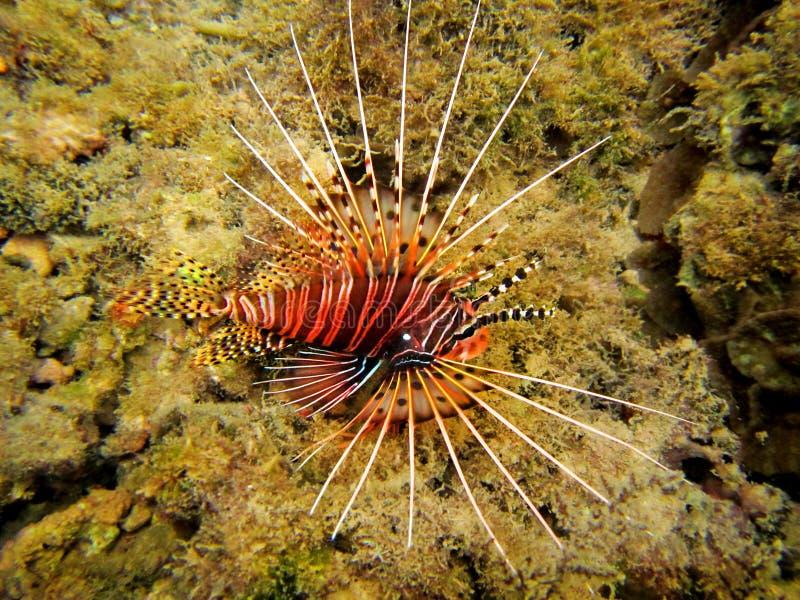 Tropical Line Fish stock photos