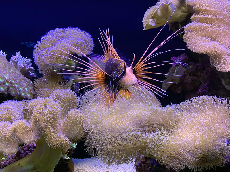 Tropical lionfish and a piece of coral reef in Eilat Aquarium. EILAT, ISRAEL - MARCH 05, 2019: Tropical lionfish Pterois radiata  and a piece of coral reef in stock photography