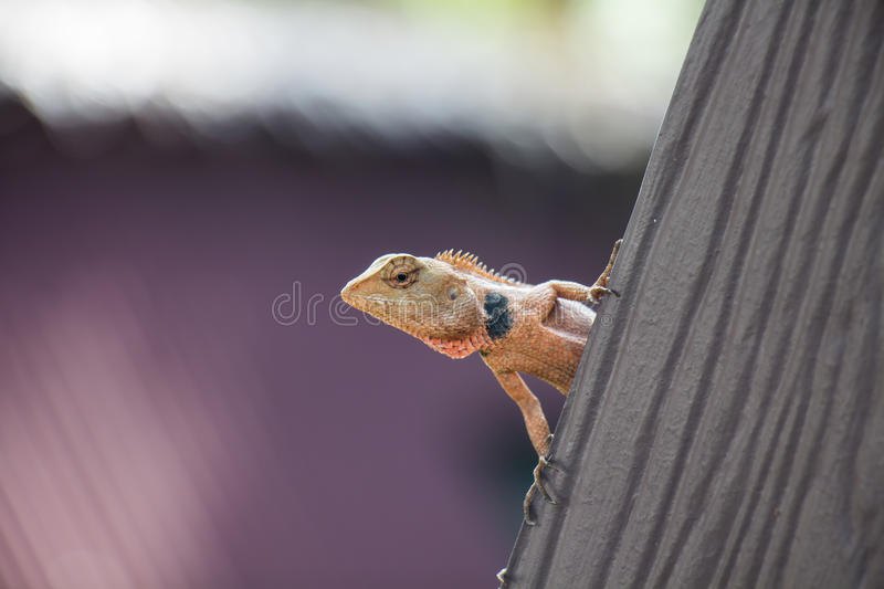 Tropical lizard. On a roof stock images