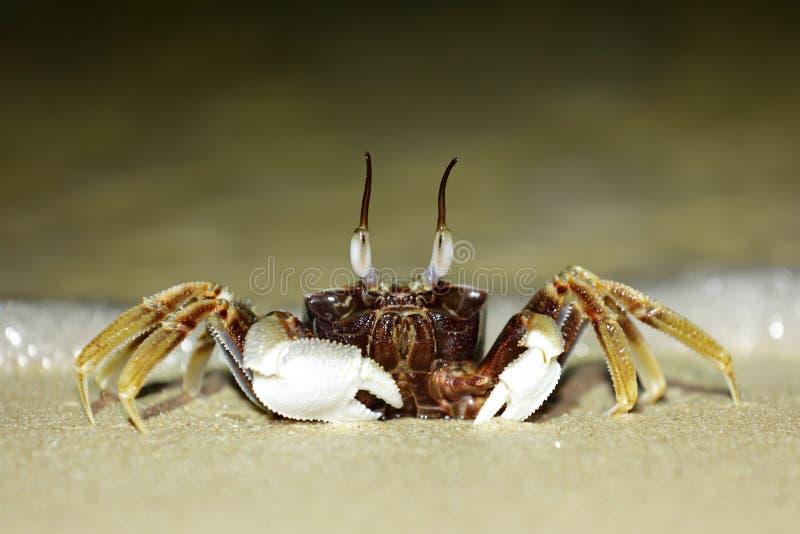 Tropical Long Eyed Crab Royalty Free Stock Image