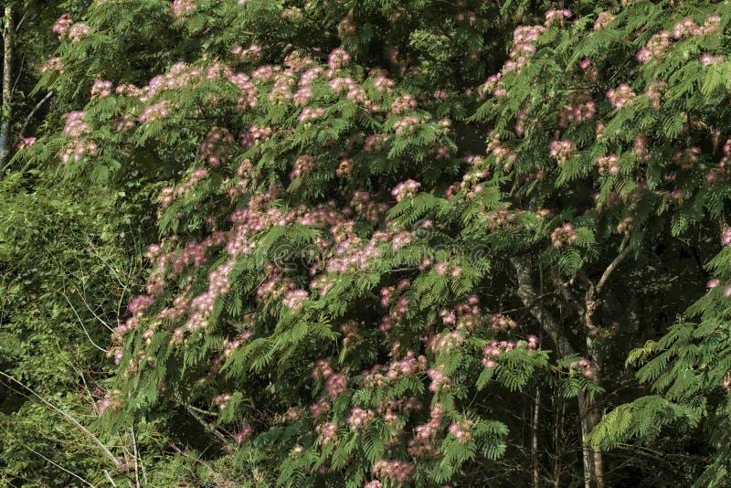 Mimosa Pink Silk Tree - Albizia julibrissin stock image