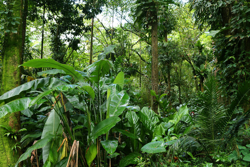 Tropical Lush Rain Forest. Dense lush tropical rain forest, Hawaii stock images
