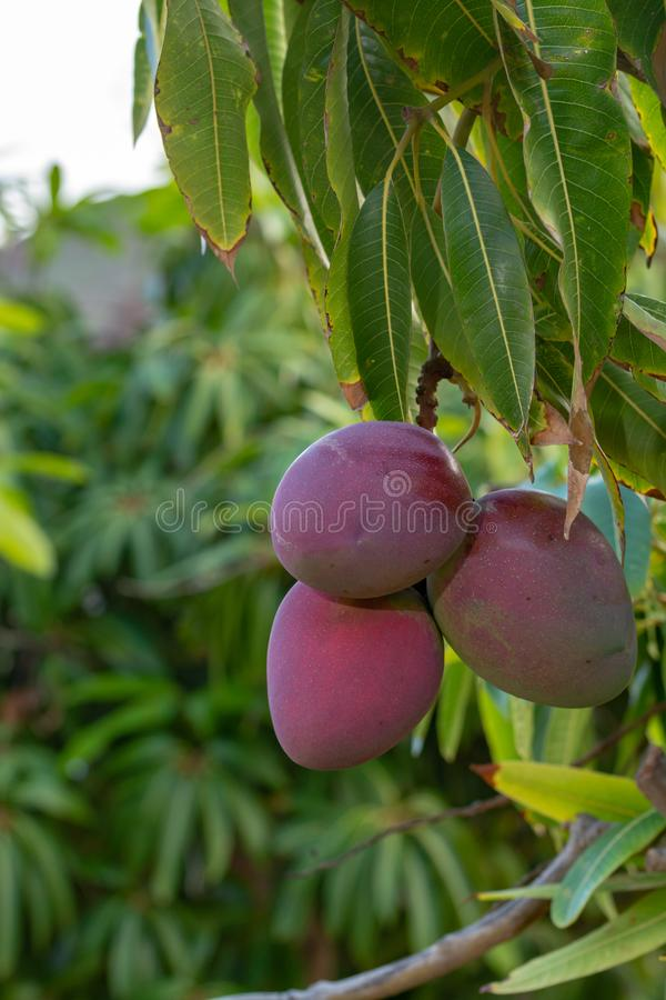 Tropical mango tree with big ripe mango fruits growing in orchard on Gran Canaria island, Spain. Cultivation of mango fruits on p. Tropical mango tree with big royalty free stock photos