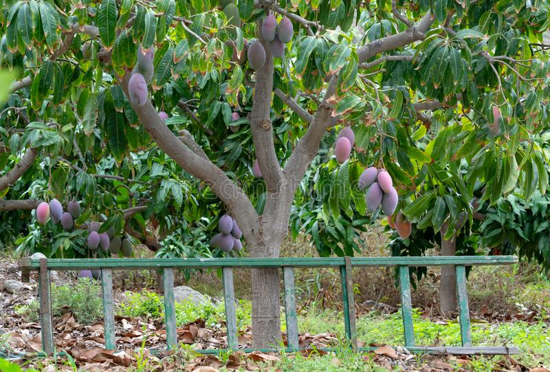 Tropical mango tree with big ripe mango fruits growing in orchard on Gran Canaria island, Spain. Cultivation of mango fruits on. Tropical mango tree with big royalty free stock photography
