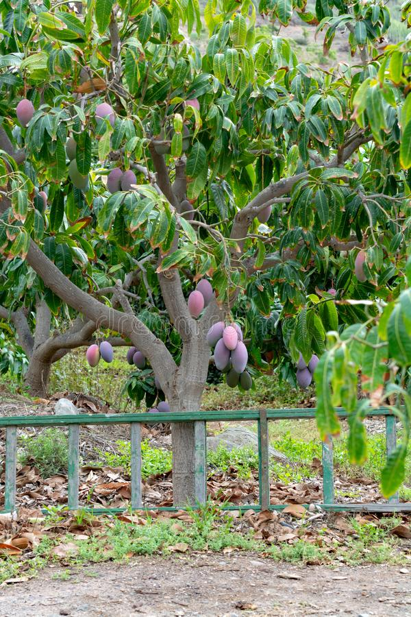Tropical mango tree with big ripe mango fruits growing in orchard on Gran Canaria island, Spain. Cultivation of mango fruits on. Tropical mango tree with big stock photos