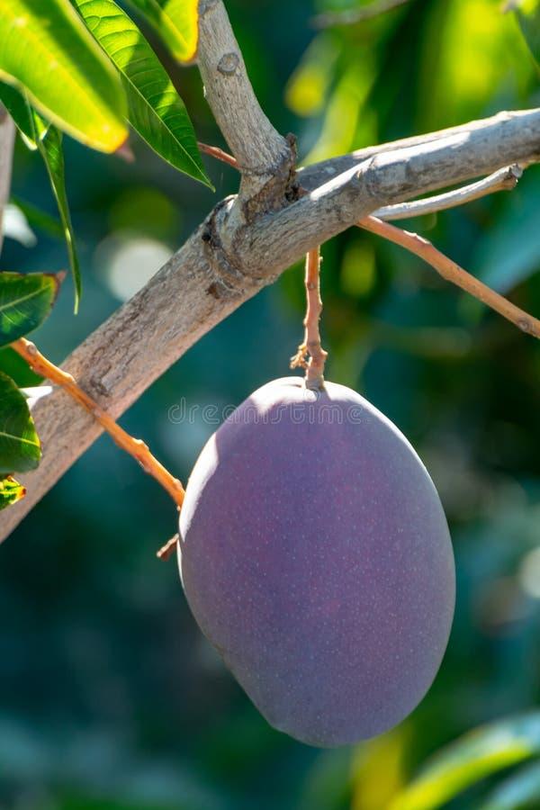 Tropical mango tree with big purple ripe mango fruits growing in orchard on Gran Canaria island, Spain. Cultivation of mango. Tropical mango tree with big ripe stock photography