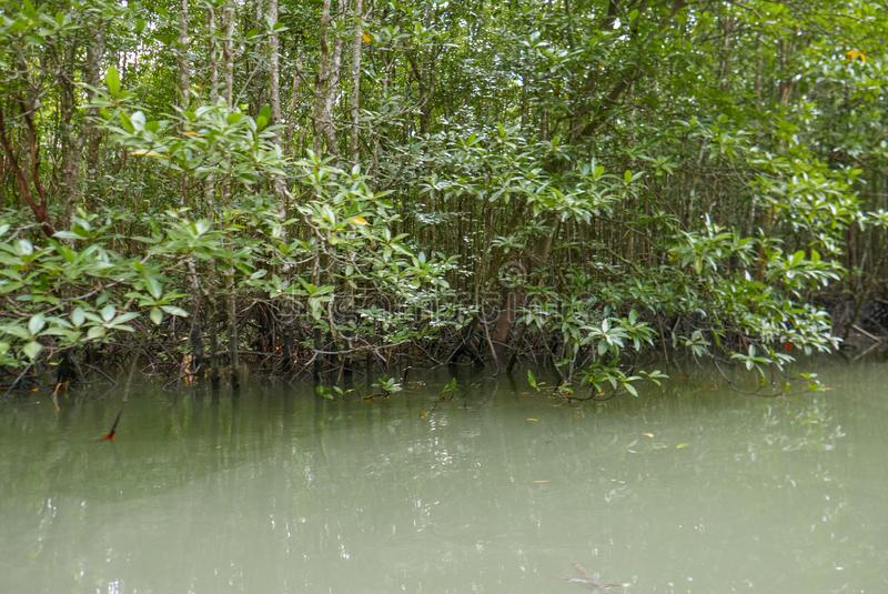 Tropical mangrove forest in summer in Thailand along coastal in Phangnga Bay national park, for environment, relaxation royalty free stock images