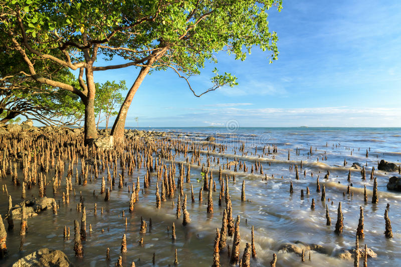 Tropical mangrove tree in golden light as tide rises royalty free stock photo