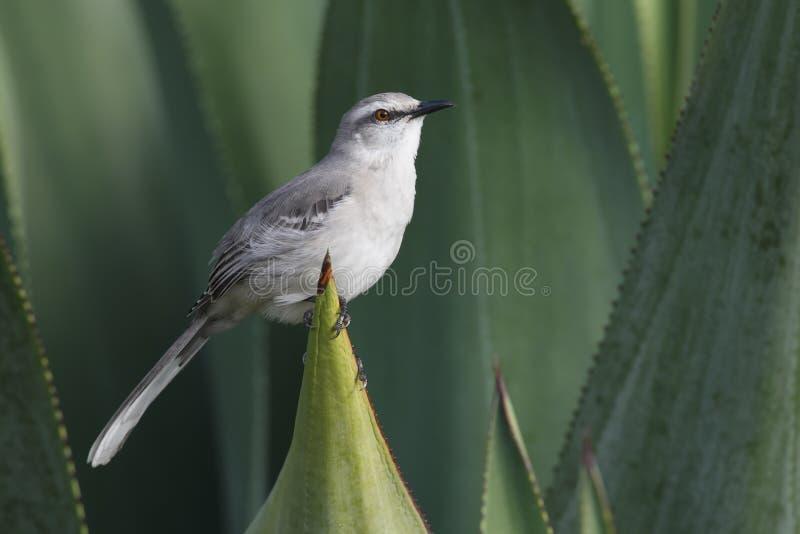 Tropical Mockingbird (Mimus gilvus rostratus) stock images