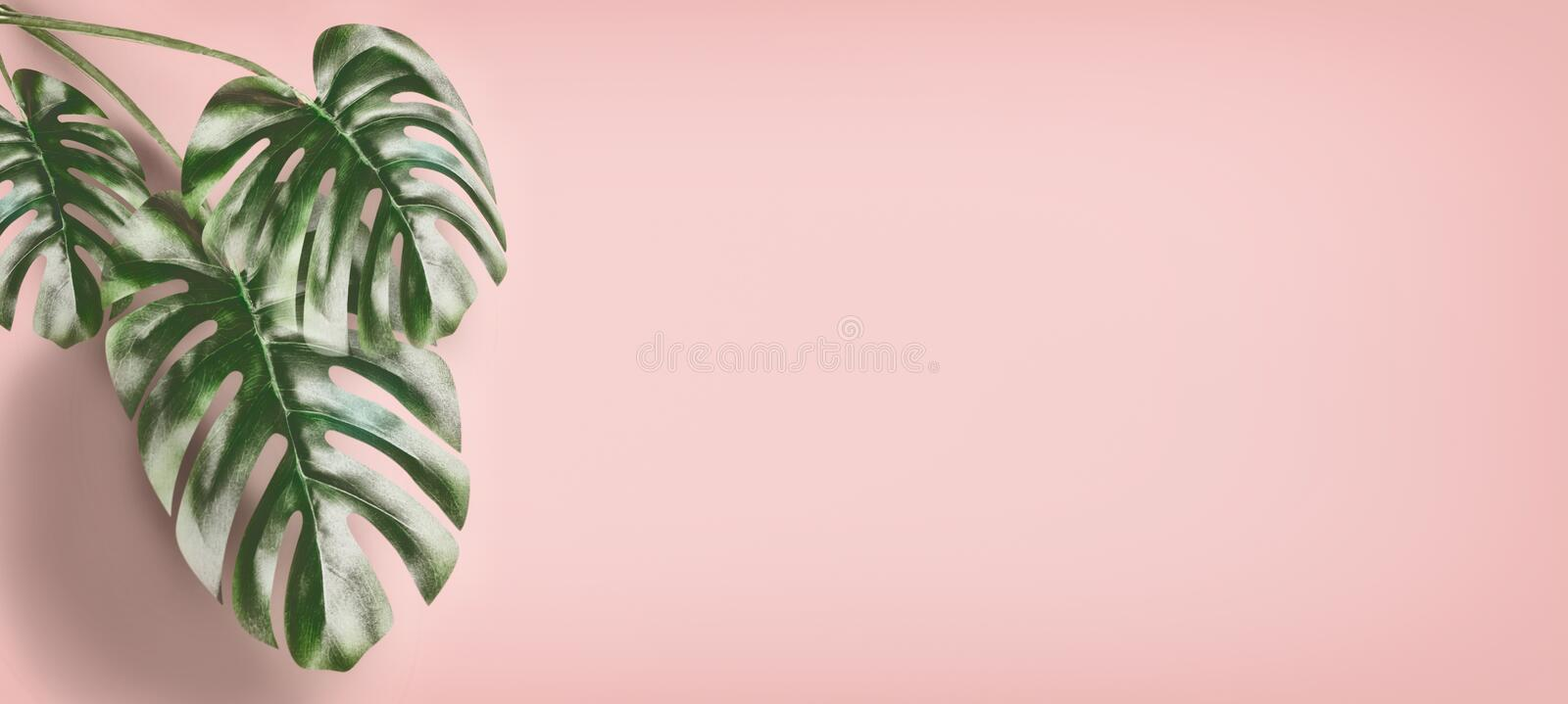 Tropical Monstera leaves at pastel pink background, summer background with copy space for design. Template or banner royalty free stock image