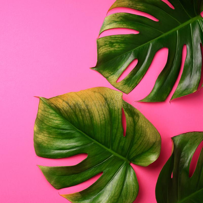 Tropical monstera leaves on pink background. Flat lay, top view. Creative layout. Summer concept. Square crop royalty free stock photos