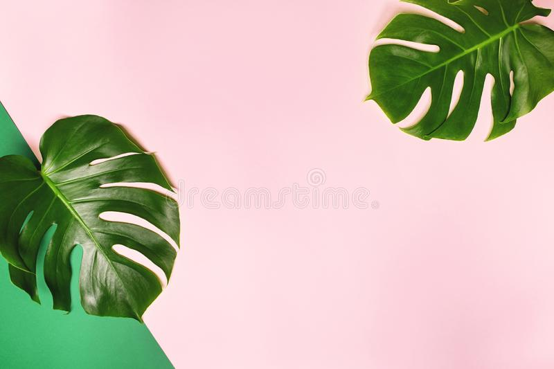 Tropical monstera leaves on pink background. stock image