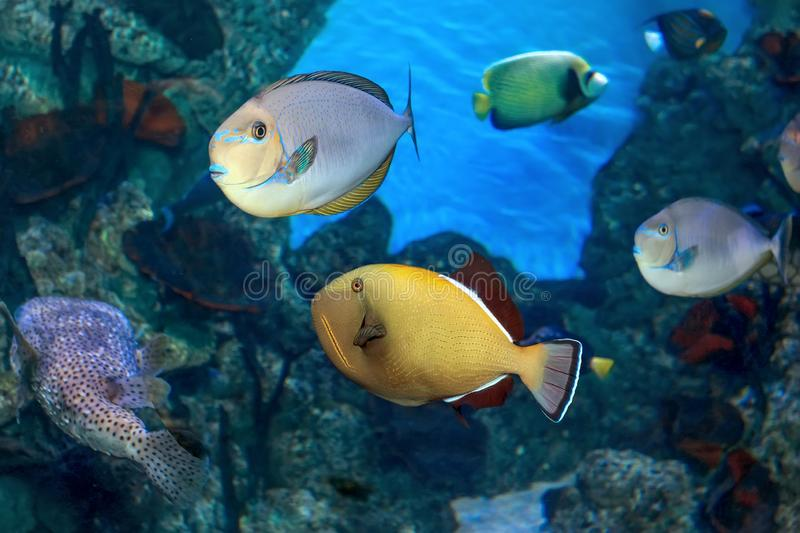 Tropical multicolored fish in marine aquarium. Tropical multicolored fish swimming in marine aquarium royalty free stock photography