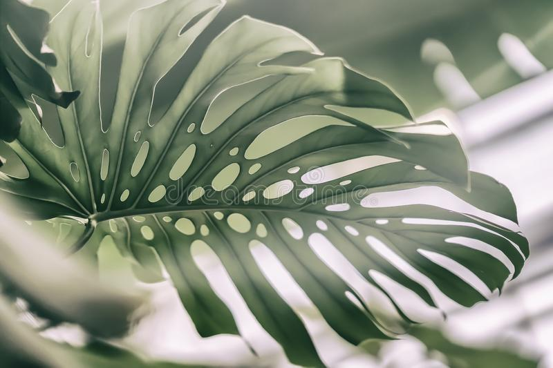 Tropical natural Monstera leaves with texture. Split-leaf philodendron, tropical foliage. Abstract natural pattern. Exotic botanical light background stock images