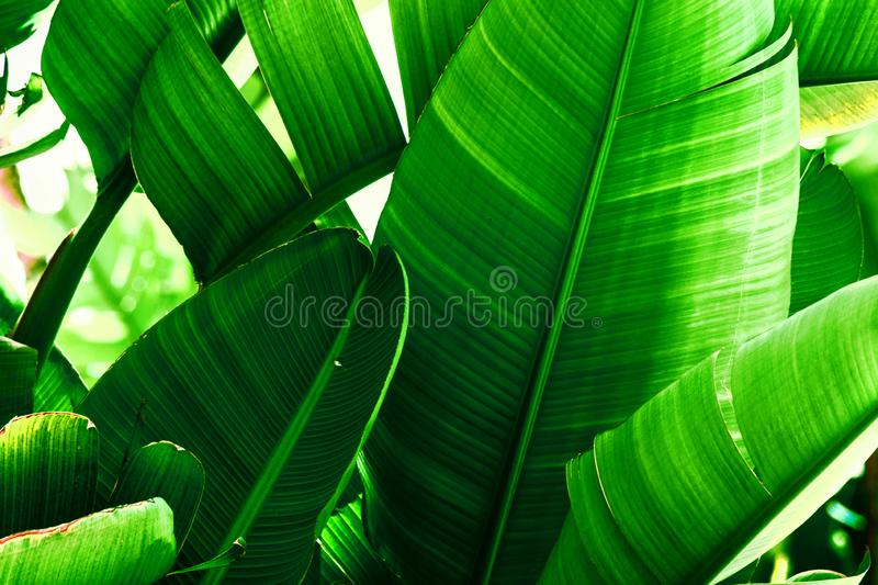 Tropical nature greenery background. Thicket of palm trees with big leaves. Saturated vibrant emerald green color. Beautiful botanical backdrop wallpaper royalty free stock photo