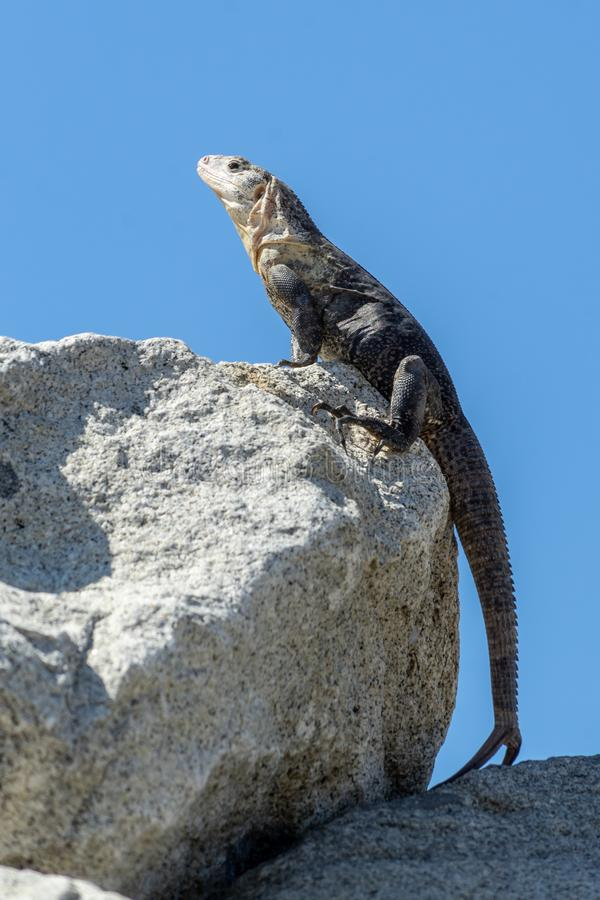 Iguana takes sun in Huatulco bay, Mexico. Tropical nature, various fauna, all for nature and animal lovers at Huatulco, Mexico royalty free stock photo