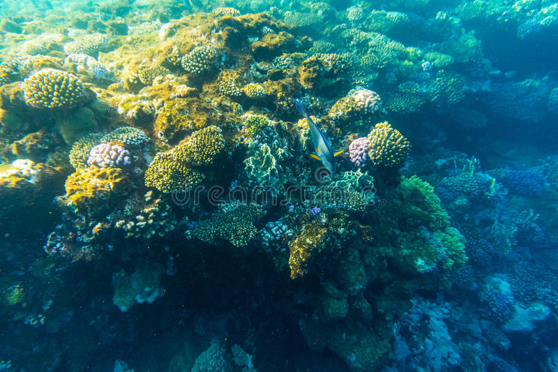 Tropical ocean life. Coral reef full of fish floating under water surface. Sunbeams light through ripples. royalty free stock photo