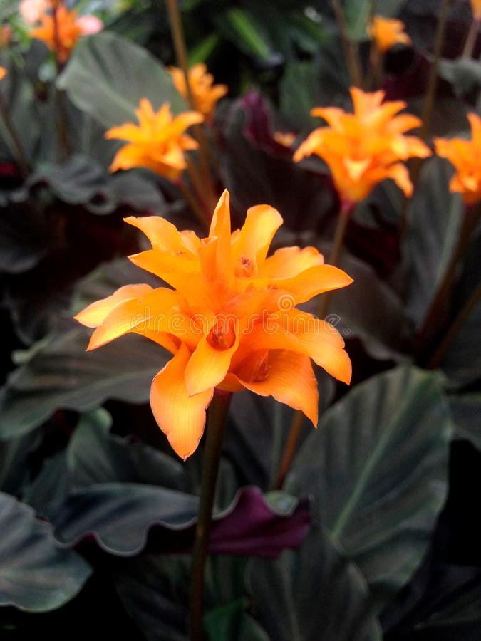 Tropical orange Calathea Crocata Tasmania flowers. Bright orange Calathea Crocata Tasmania flowers also known as Eternal Flame surrounded by dark leaves stock images